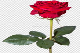 Red Rose PNG HD