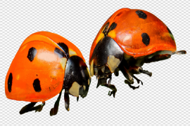 Red Ladybug Insect Transparent Background