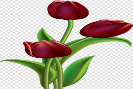 Red Tulip Flower PNG File