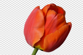 Fresh Red Tulip PNG File
