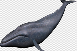 Blue Whale PNG Image