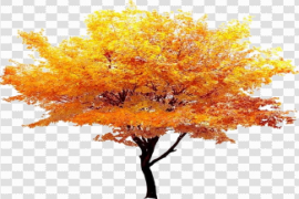 Fall Tree PNG Background Image