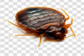 Bed Bug PNG Clipart