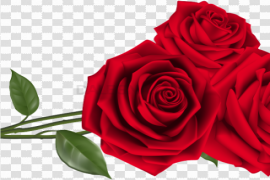 Red Valentines Day Rose PNG Photos