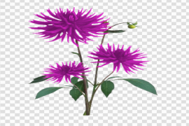 Aster PNG Free Download