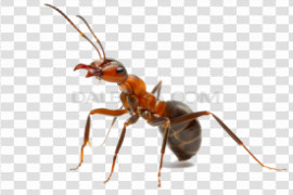 Red Ant PNG Picture
