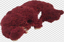 Red Coral PNG Photos