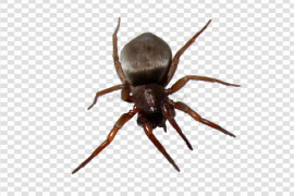 Spider With White Bottom PNG