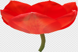 Fresh Red Tulip PNG Photos