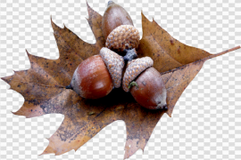Acorn Background PNG