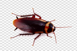Cockroach PNG Background