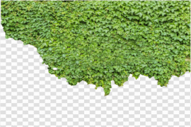 Ivy PNG Picture