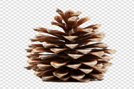 Pinecone PNG Transparent Picture