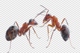 Red Ant PNG Free Download