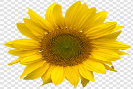Sunflower PNG Pic