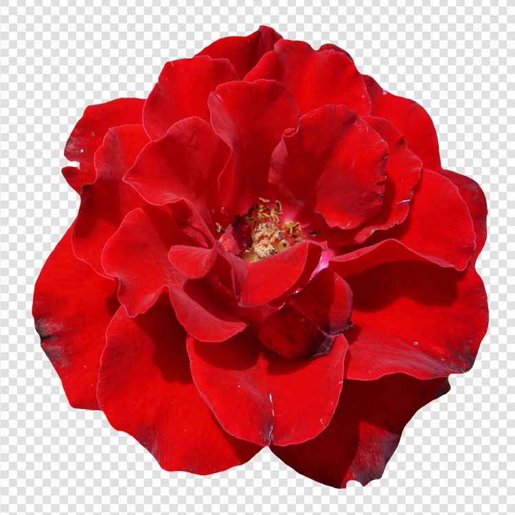Red Rose Flower PNG Clipart